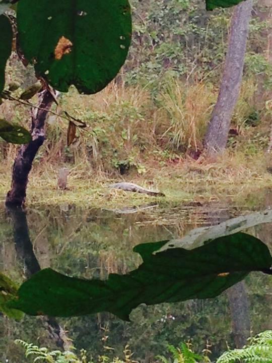 Crocodil lenes