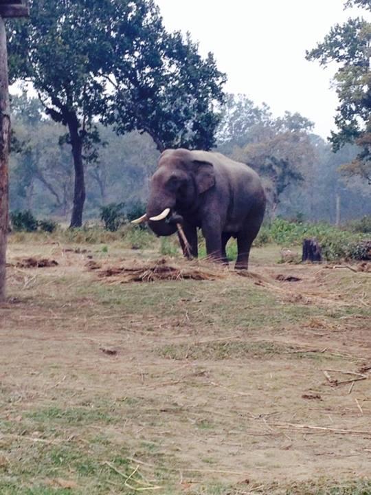 Elefantul salbatic
